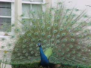 Lily's Royal Roads_peacock2