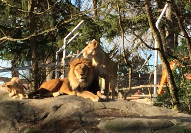 Lions_resized