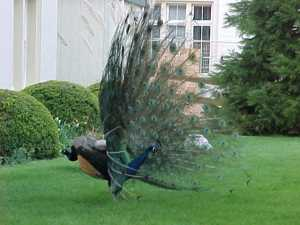 Royal Roads_peacock3